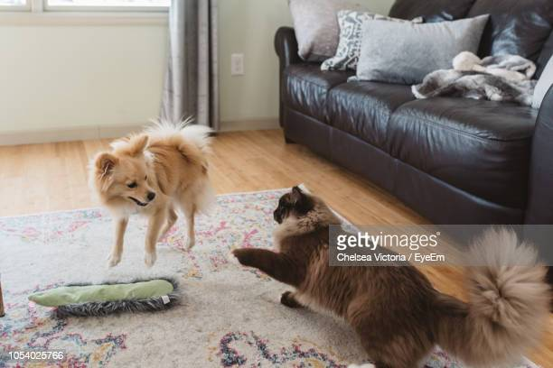 cat and dog playing on carpet at home - dog fight stock pictures, royalty-free photos & images