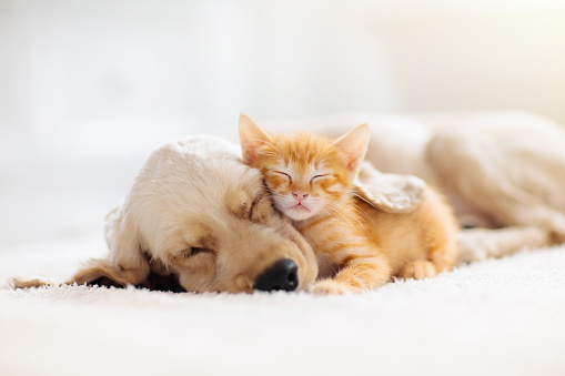 Cat and dog sleeping. Puppy and kitten sleep. 1168451046