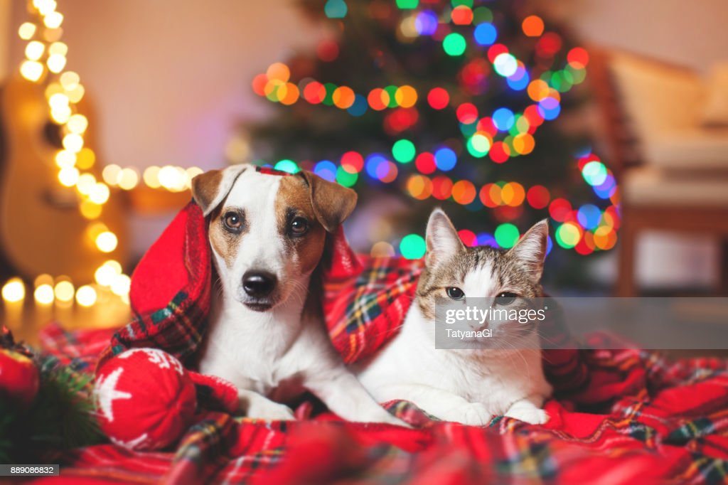 Cat and dog under a christmas tree : Stock Photo