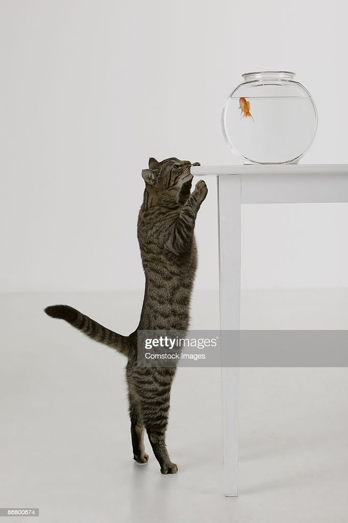 Cat and goldfish : Stock Photo