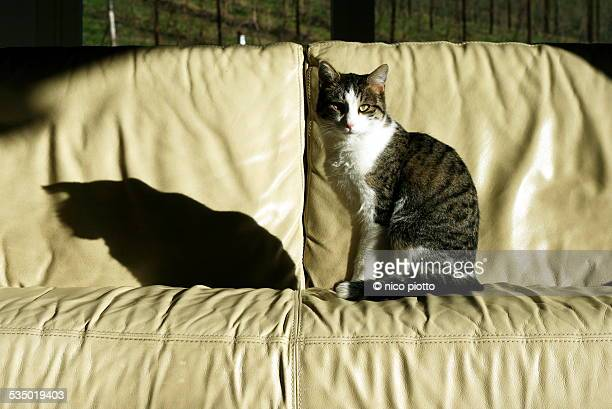 Cat and his shadow on leather sofa