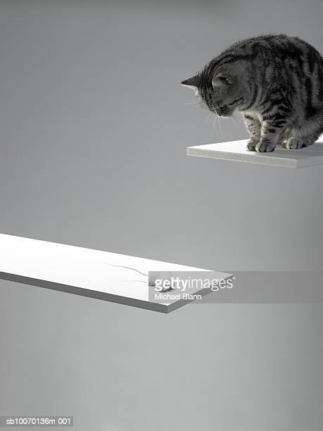 cat and mouse on planks, close-up - bridging the gap stock photos and pictures