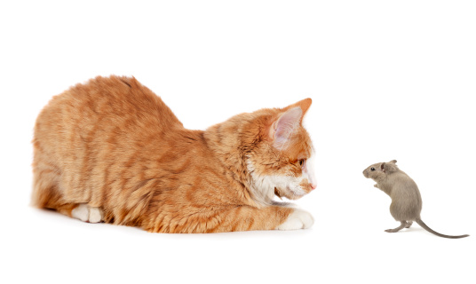 Cat and mouse 155394255