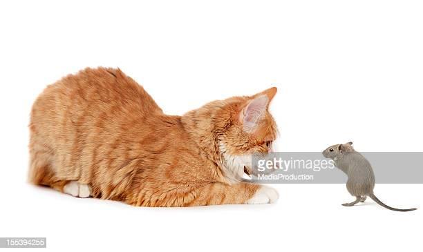 chat et à la souris - chat roux photos et images de collection