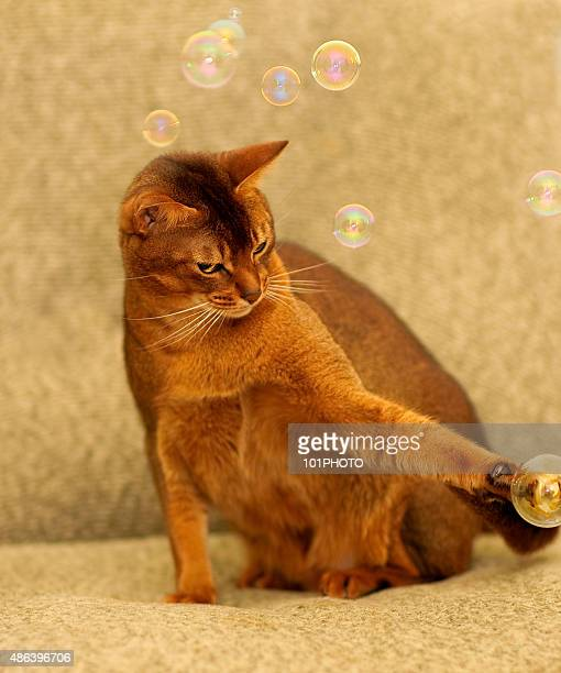 Abyssinian cat is played sofa by soap bubbles.