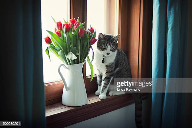 cat and tulips by the window