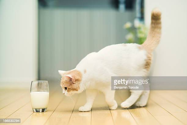 Cat approaching glass of milk