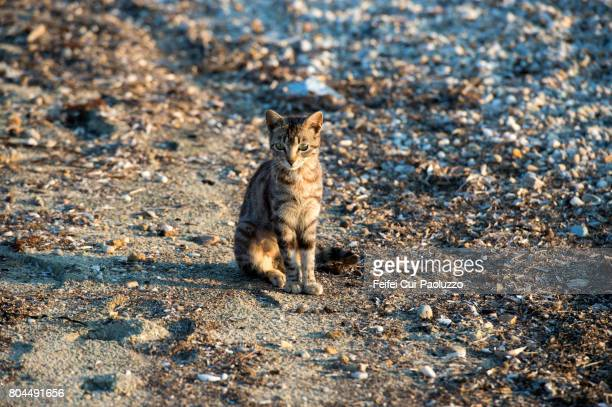 a cat at beach of san antonio, thasos island, east macedonia and thrace region, northern greece. - thasos stock photos and pictures