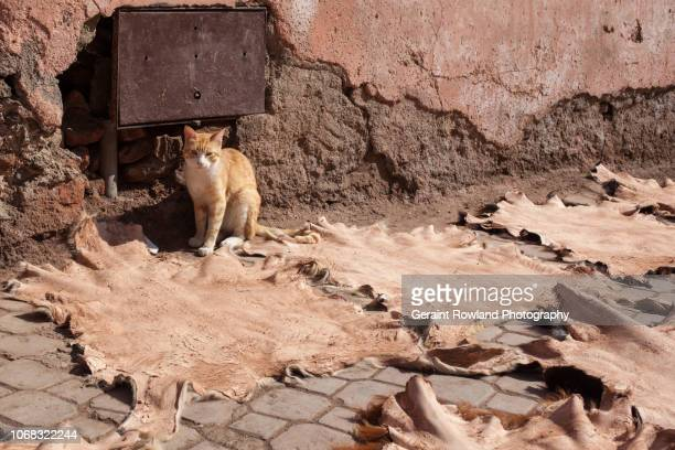 Cat at Tannery in Marrakesh