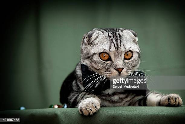 cat bow tie lies