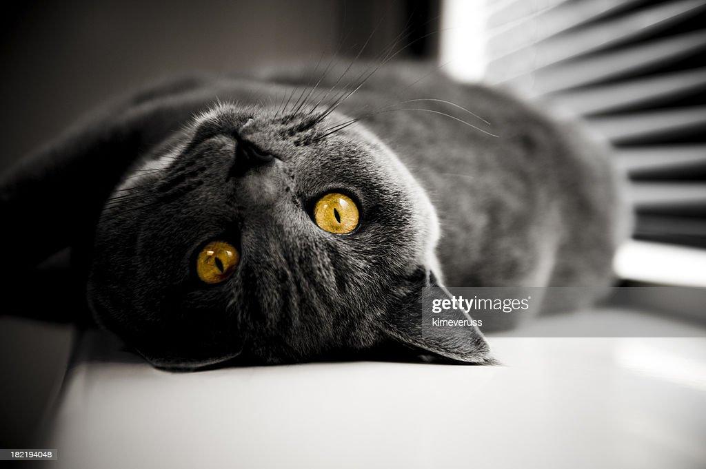 Cat British Shorthair yellow eyes in dark room : Stock Photo