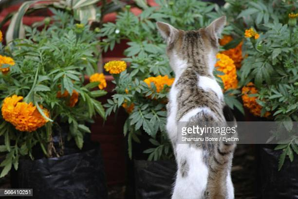 Cat By Marigold Plants