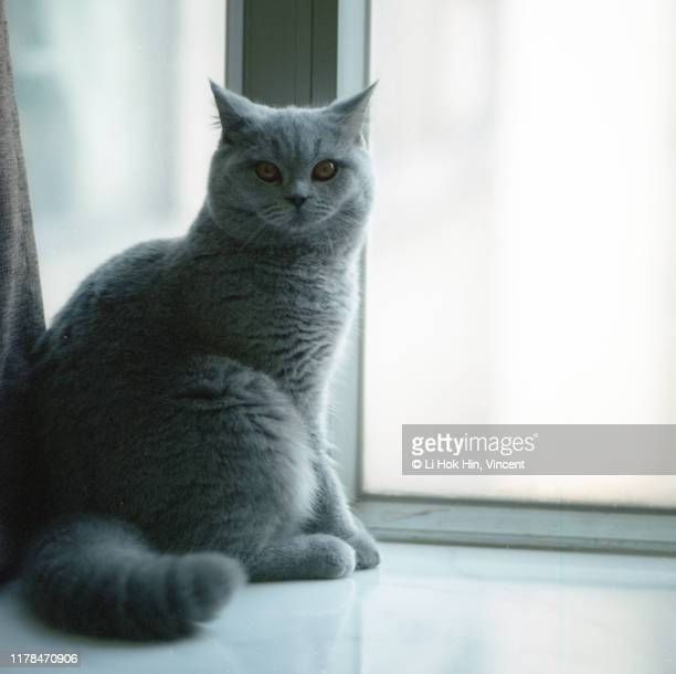 cat by the window - british shorthair cat stock pictures, royalty-free photos & images