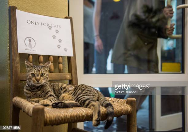 A cat can be seen on a chair at the first ever Cat Café of Hamburg Germany 27 July 2017 After Nuremberg and Munich the city of Hamburg may now also...