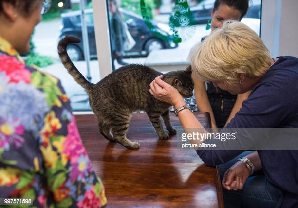 A cat can be seen on a table happy being petted in the first ever Cat Café of Hamburg Germany 27 July 2017 After Nuremberg and Munich the city of...