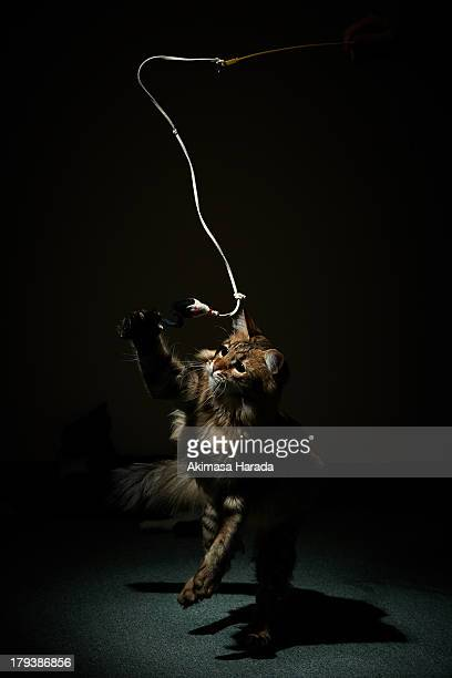 A cat chasing a string in narrow lighting.