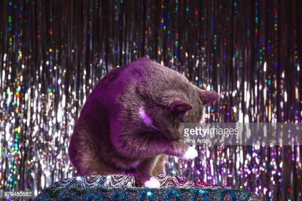 cat cleaning itself, cat studio shot, cat grooming itself - cleaning after party bildbanksfoton och bilder