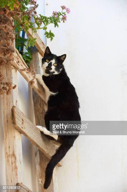 Cat climbing ladder, Santorin, Cyclades, Greece