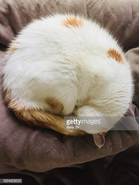 cat curled up on sofa - モバイル撮影 ストックフォトと画像