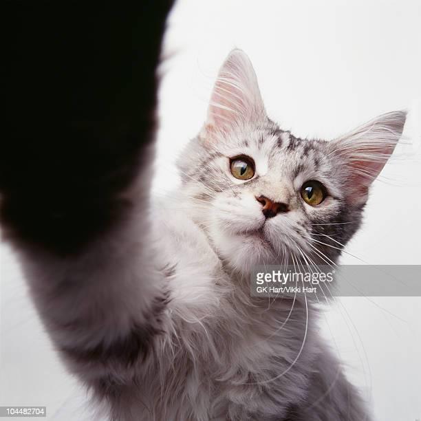 Cat Doing High Five
