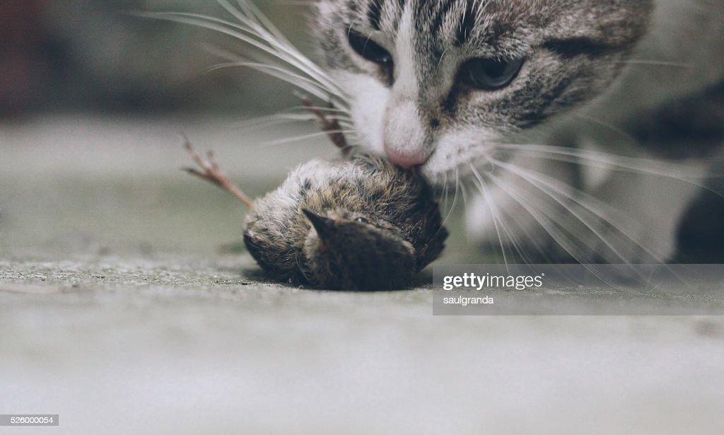 Cat eating a bird : Stock Photo
