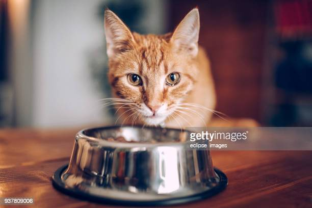 cat eating out of bowl - domestic cat stock pictures, royalty-free photos & images