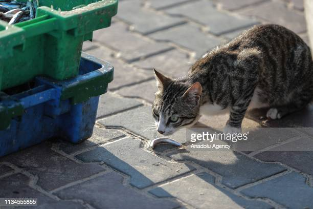 A cat eats a fish as Palestinian fishermen put fishes on the market at Gaza port after Israel increases fishing zone for Palestinian fishermen off...