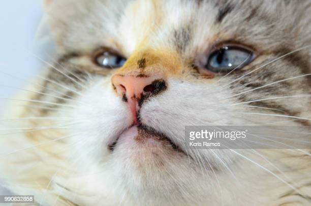cat face with blue eyes, white cat with queen crown in undefined background, ear and muzzle (very old cats). Because they are blends, SRD cats can have different colors and skin types, sizes, shapes and appearance. July 2, 2018 in Brazil. Because they are