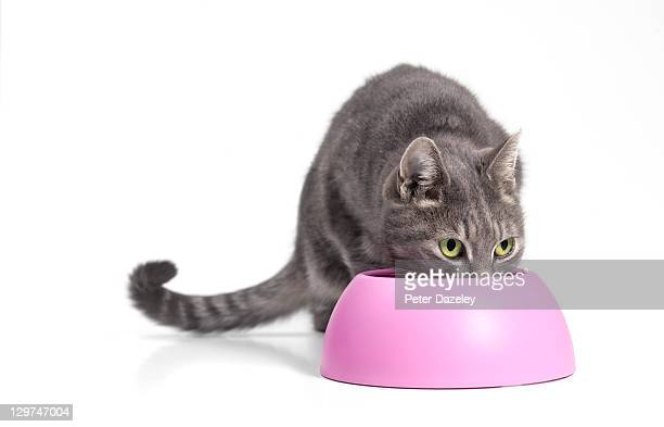 Cat feeding from pink bowl wit copy space