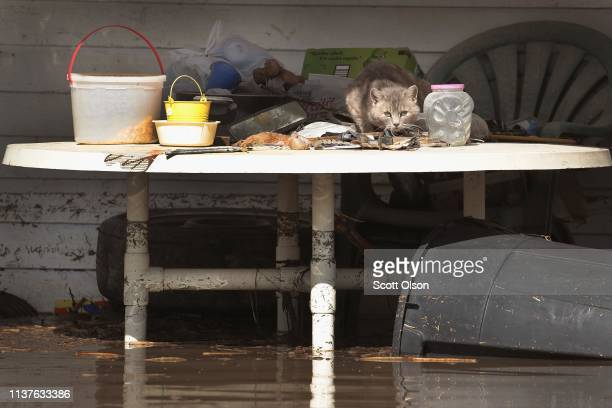 CRAIG MISSOURI MARCH 22 A cat finds refuge from floodwater on a porch on March 22 2019 in Craig Missouri Midwest states are battling some of the...