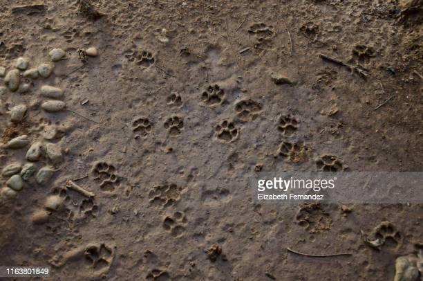 cat footprints in mud - impronta del piede foto e immagini stock