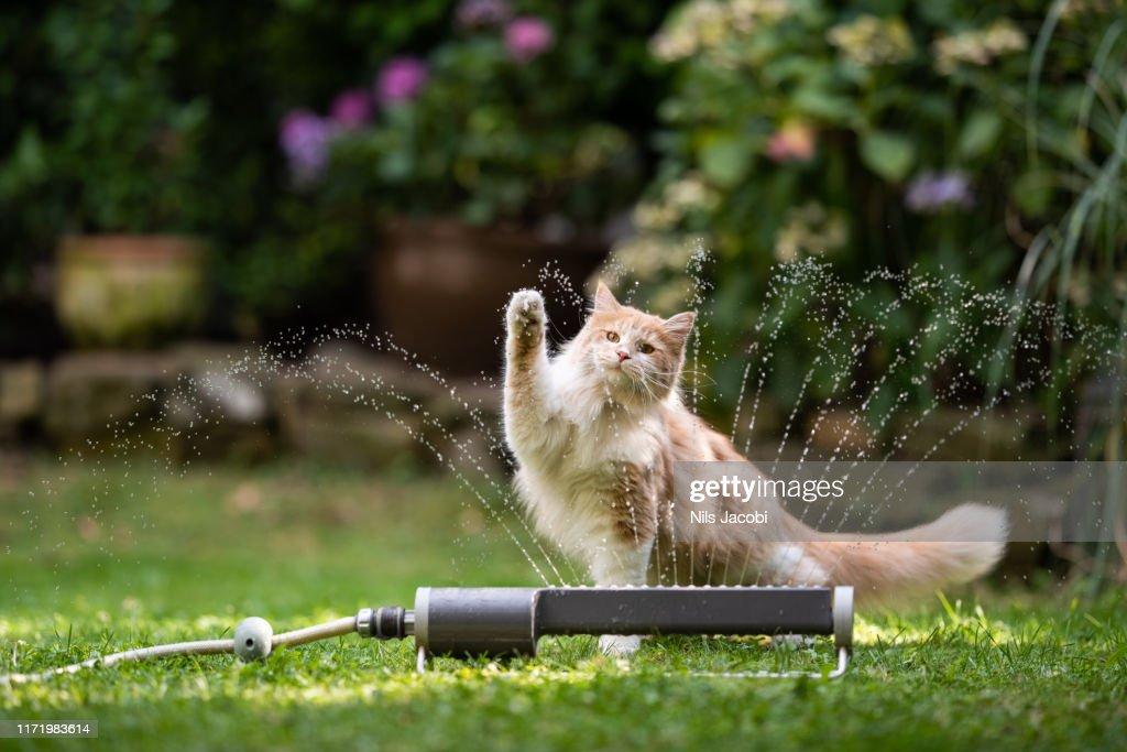 Katzengarten Rasen Sprinkler : Stock-Foto