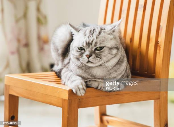 cat giving you a disdainful look - domestic cat stock pictures, royalty-free photos & images