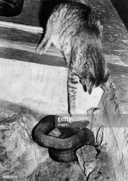 Cat grasping after snake New York Photograph Around 1930 Photo by Austrian Archives