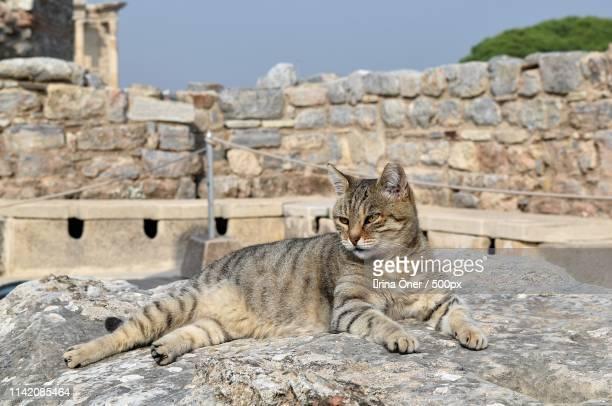 cat gray on the background of ancient ruins the c - tempelcomplex van dendera stockfoto's en -beelden