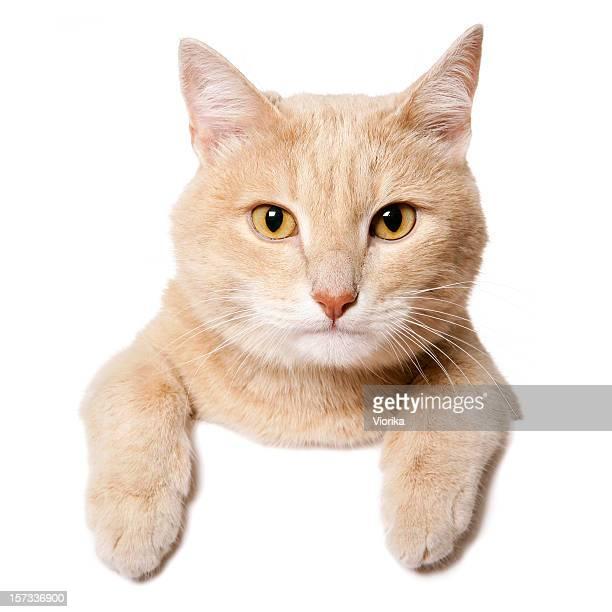 Blanco signo-Cat