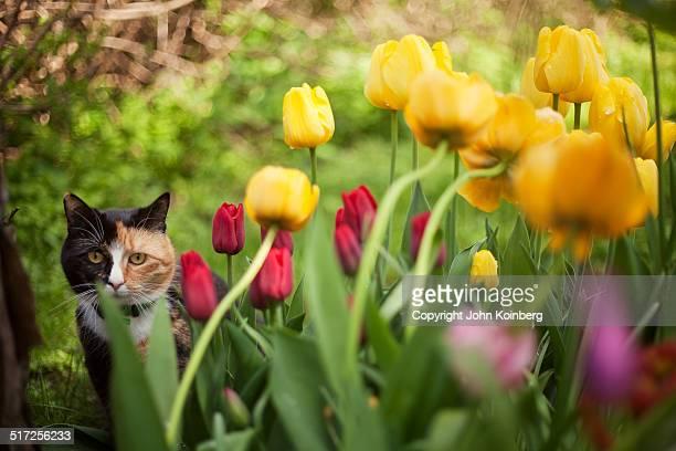 Cat hiding among tulip flowers