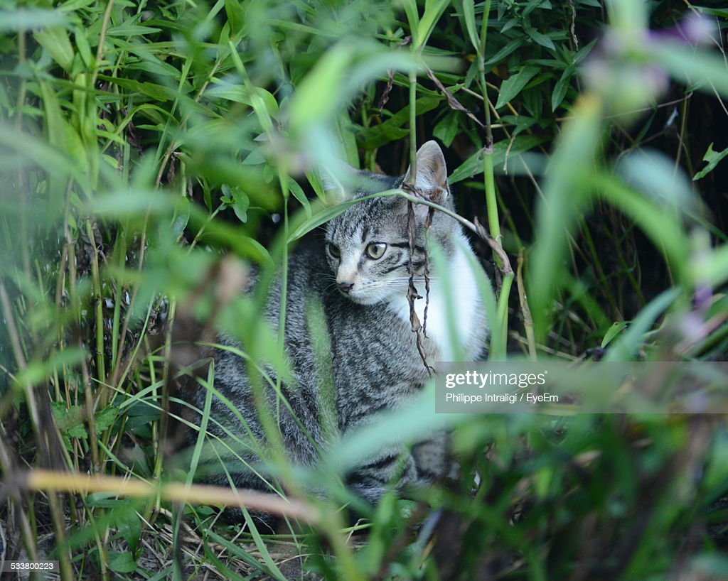 Cat Hiding In Bush : Foto stock