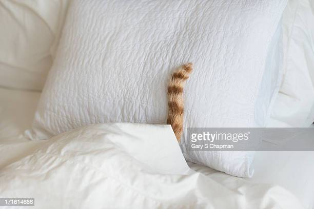 Cat hiding under bed covers