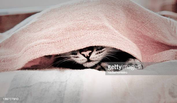 cat hiding under cover bed sheets - cat hiding under bed stock pictures, royalty-free photos & images
