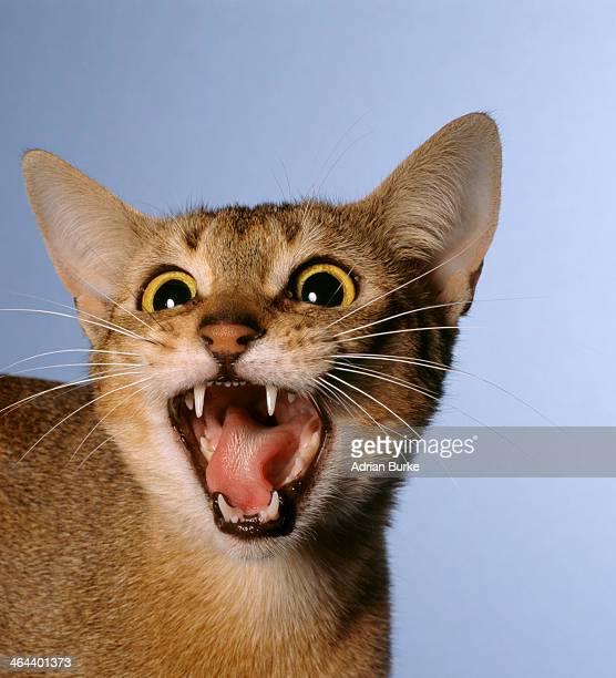 Cat Hissing.