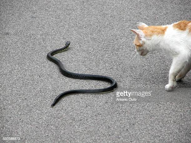 Cat hunting a snake