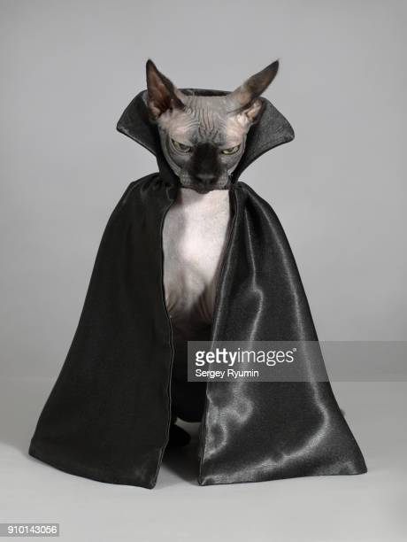 cat in a black cloak. - black cat stock photos and pictures
