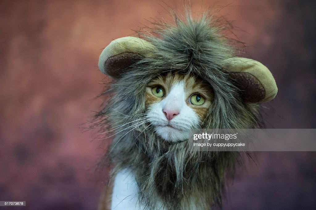 Cat in a lion costume : Stock Photo