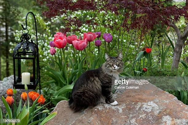 Cat in a tulip garden, in springtime.