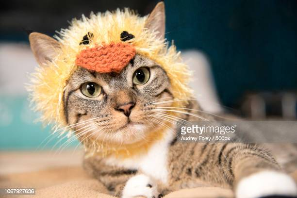 cat in chicken costume - cat costume stock photos and pictures