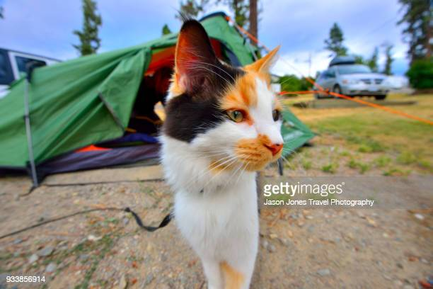 A cat in front of a tent in Canada