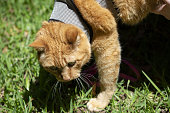 young yellow cat harness walking grass