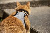 young yellow cat harness walking toward
