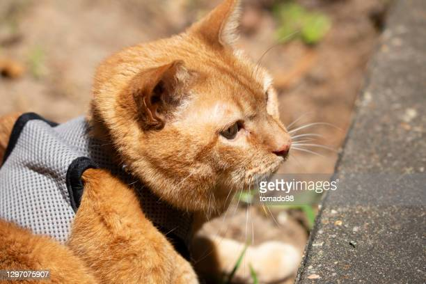 young yellow cat harness lying ground